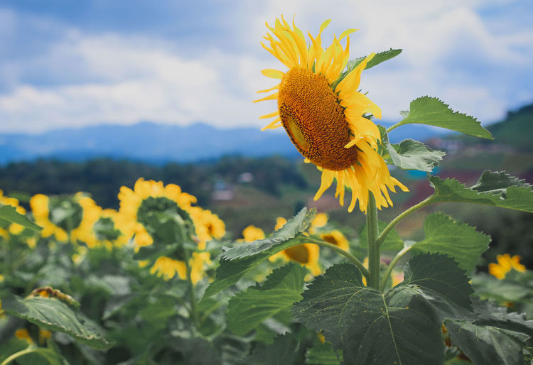 Beauty In Nature Close-up Day Flower Flowering Plant Freshness Growth Leaf Nature Outdoors Petal Plant Sunflower Vulnerability  Yellow