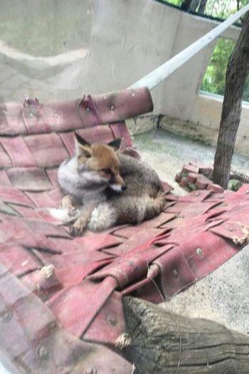 Animal Photography Animal Fox🐺 Fox Tilki Hayvanat Bahcesi Zoophotography Zoo