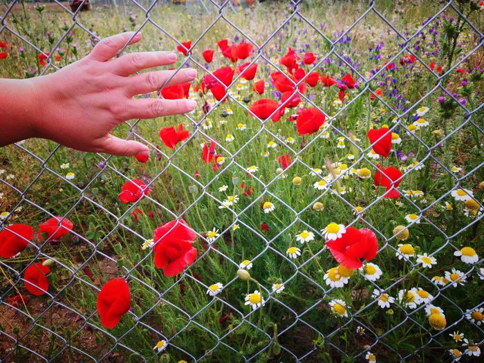 Springtime Human Hand Red Human Body Part One Person Outdoors Spring Fence Security Private Hand Body Part Poppy Poppy Flowers Safety Locked Metallic Fence Contrast Day Holding Nature Close-up Real People People Freshness
