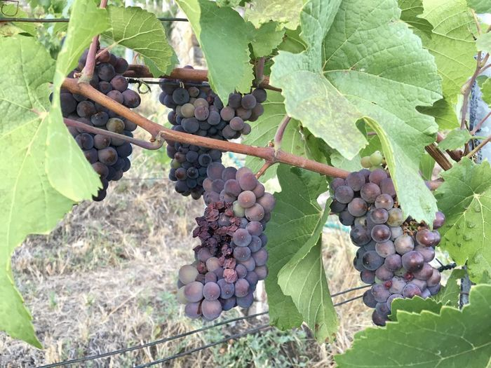 Agriculture Bunch Day Field Food Food And Drink Freshness Fruit Grape Green Color Growth Healthy Eating Leaf Nature No People Outdoors Plant Plant Part Plantation Ripe Vine Vineyard Wellbeing Winemaking