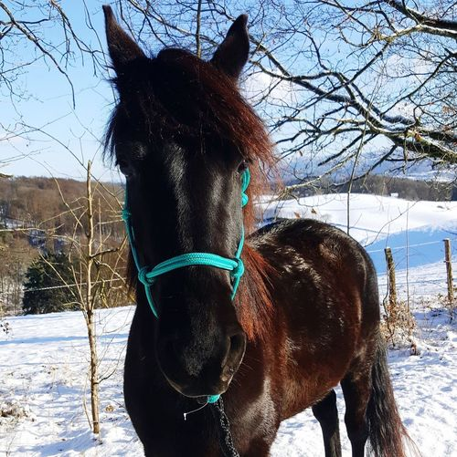 Knotenhalfter Red Hair Black Beauty Pferd Pony Morgan Horse Snow Mammal Snow Winter Domestic Animals Cold Temperature Animal Pets Horse Outdoors No People