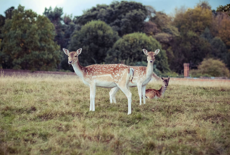 Three Animal Animal Themes Domestic Animals Field Grass Herbivorous Livestock Looking At Camera Mammal Nature No People Non-urban Scene One Animal Outdoors Standing Tranquil Scene Tranquility Tree Zoology