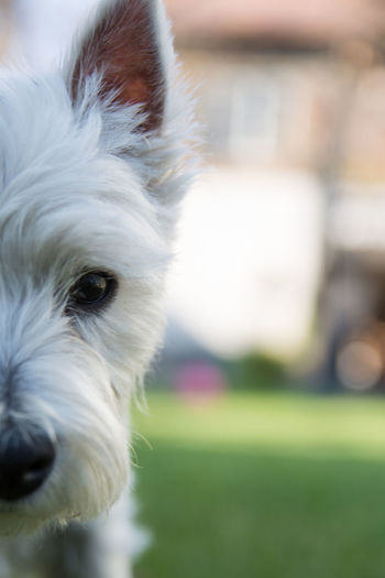 Domestic Domestic Animals Pets One Animal Animal Themes Dog West Highland White Terrier Portrait Animal Head  Animal Canine Puppy Young Animal Racial Dog