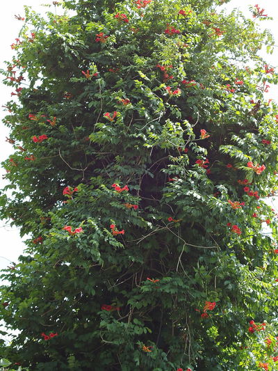 Campsis Climbers Flowering Plants Flowers Plants Summer Tecoma Trumpet Creeper Trumpet Vine Trumpet-shaped Flowers