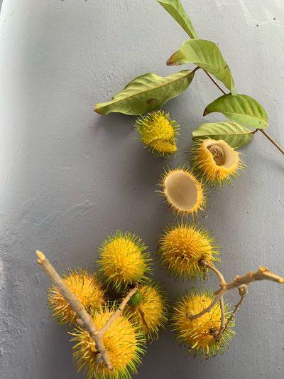 rambutan Plant