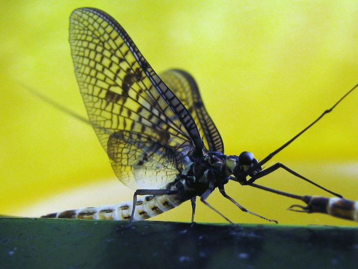 Insect Animal Wing Animal Themes No People Animals In The Wild Animal Wildlife Nature Full Length Outdoors Day Close-up Perching Macro Nature Beauty In Nature Macro Macroshot Mayfly Fragility Macro Beauty Beautiful Insects  Close Up Amazing