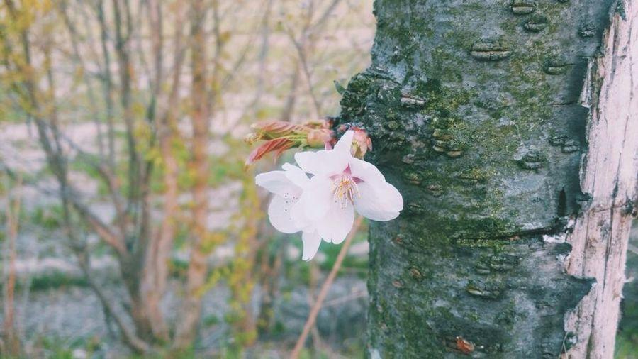 Cherryblossom Blossom Spring 벚꽃 전주 벚꽃나무 Vega Vegaltea 베가폰 Flower