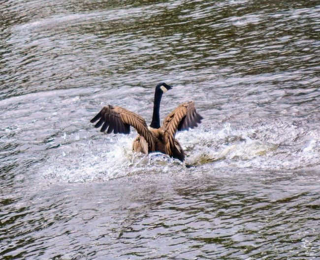 Goose Water