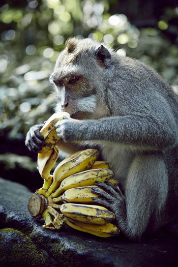 Close-Up Of Monkey Eating Bananas In Forest
