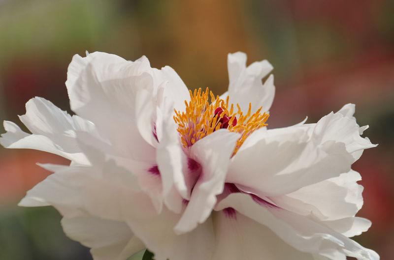 Beauty In Nature Blooming Close-up Flower Flower Head Fragility Freshness Growth Nature No People Outdoors Paeonia Suffruticosa Peony  Peony Flower Petal White Color