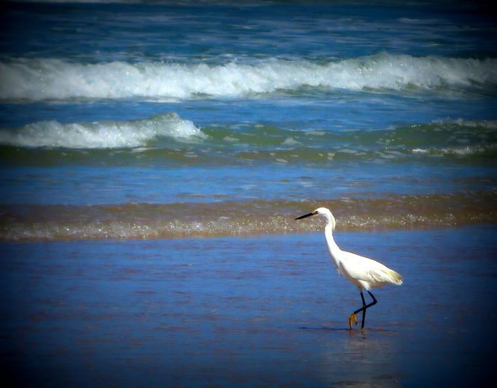 Looking for his next meal... Animal Themes Animals In The Wild Beach Beauty In Nature Bird Crane - Bird Day Gray Heron Great Egret Heron Nature No People Ocean One Animal Outdoors Sea Standing Water Wave