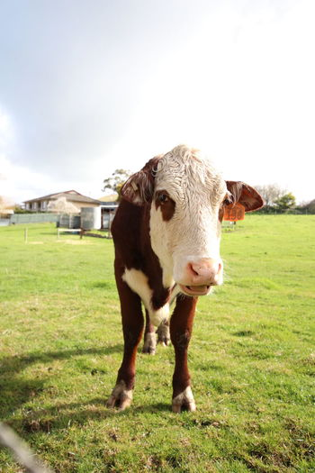 Friendnotfood Animal Love Farming Outside Day Country Male EyeEm Selects Portrait Rural Scene Agriculture Looking At Camera Field Standing Sky Grass Livestock Paddock Cow Farm Animal Cattle Animal Pen Bull - Animal Herbivorous Pasture Livestock Tag Dairy Farm Calf Domestic Cattle