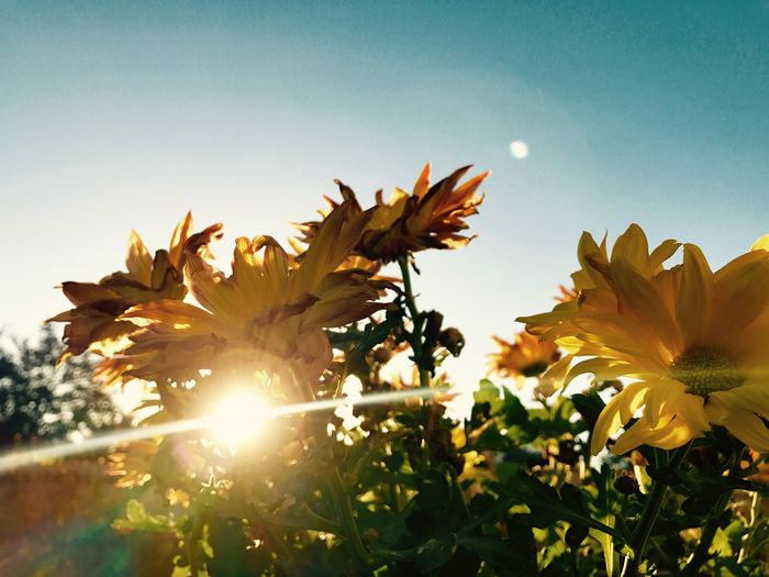 Happy Feeling Sunny Growth Spring Yellow Flowers Chrysanthemum Nature Sun Flare Flower Petal Growth Freshness Fragility Beauty In Nature Nature Plant Flower Head Sunlight No People Clear Sky Day