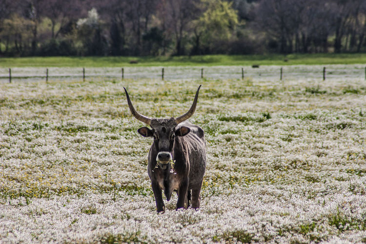Maremma field with white flowers and buffalo cows Animal Themes Day Domestic Animals Field Focus On Foreground Grass Mammal Nature No People One Animal Outdoors Portrait Domesticated Animal Tag Grazing Cow Horned Farm Animal Water Buffalo Bull - Animal Herbivorous Calf