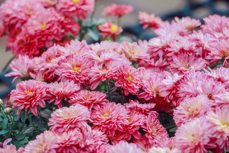 Flowering Plant Flower Freshness Fragility Plant Inflorescence Beauty In Nature Pink Color Nature Petal Vulnerability