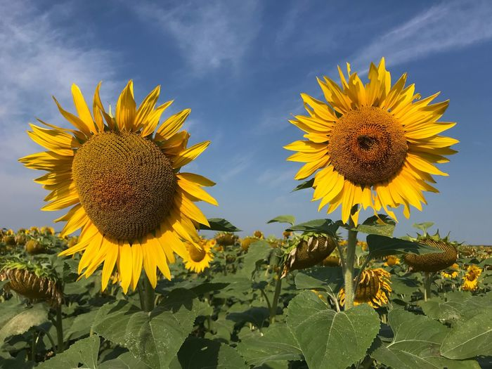 Sunflowers подсолнух Yellow Flower Flowering Plant Plant Flower Head Sunflower Sky EyeEmNewHere