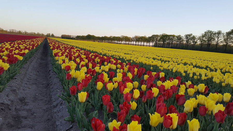 Yellow tulips growing in field against sky