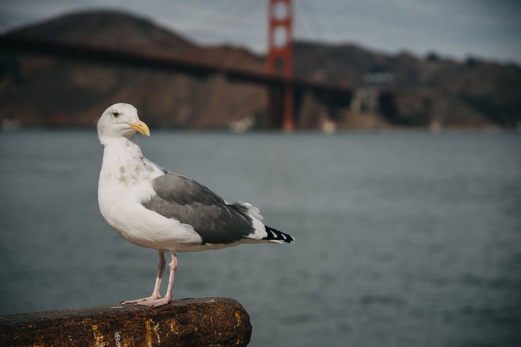 San Francisco San Francisco Bay San Francisco Bay Bridge Golden Gate Bridge Animal Themes Bird One Animal Animal Vertebrate Focus On Foreground Animals In The Wild Animal Wildlife Seagull Perching Sea Water Day No People Close-up Sea Bird Outdoors Nature Side View