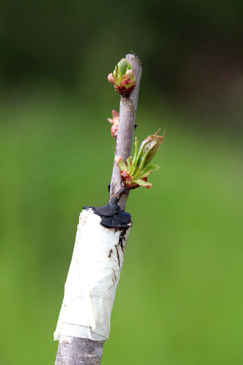 grafted fruit tree Apple Tree Clone Close-up Day Engraftment Farm Fruit Tree Grafted Trees Grafting... Nature No People Outdoors