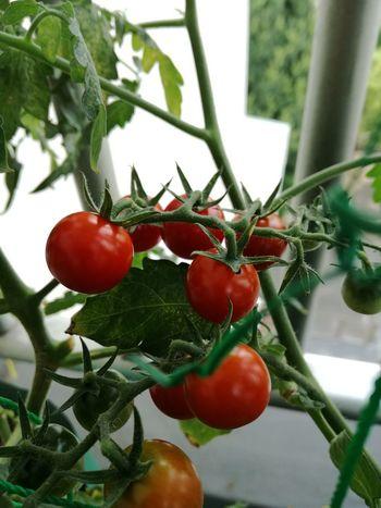 トマト が色付いたので ベランダ菜園 で育てていたが、やっと食べられる状態になりました。