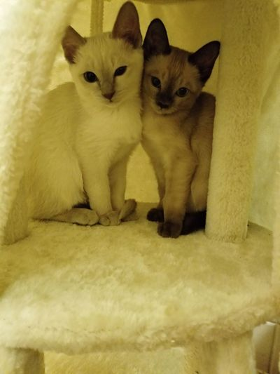 Kitties, Tonkinese