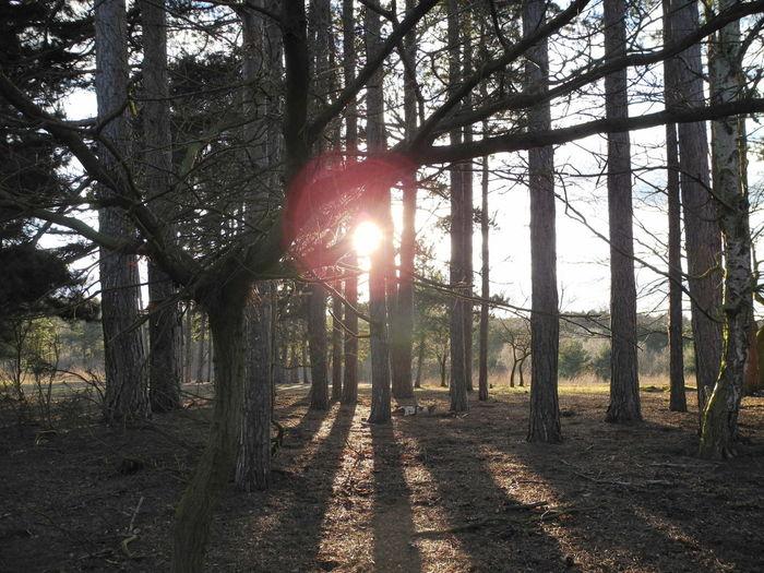 Sunseting Tree