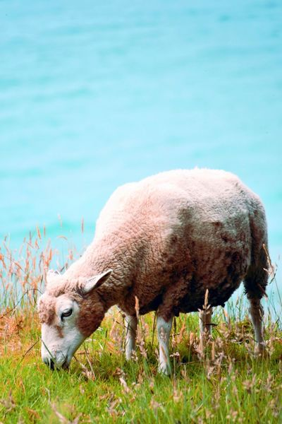 Grassy Sheep Animal Themes Animal Animal Wildlife Mammal One Animal Animals In The Wild No People Agriculture Eating Water Grass Vertebrate Domestic Animals Livestock Outdoors Profile View Side View Plant Nature Grazing End Plastic Pollution