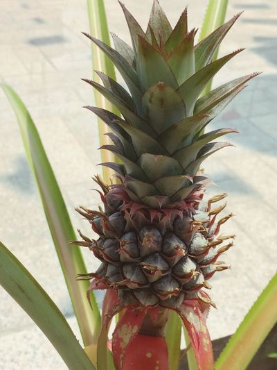 Pineapple Growth Tropical Fruit Fruit Healthy Eating Plant Food And Drink Day Close-up Nature Plant Part Leaf