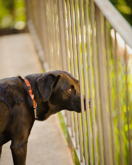 Black Labrador Retriever standing on deck looking through railing fence One Animal Animal Themes Animal Pets Canine Dog Domestic Black Color Railing Looking Boundary Outdoors No People Animal Head  Day Looking Away Black Labrador Black Lab Black Labrador Retriever Retriever Fence Deck Fenced In