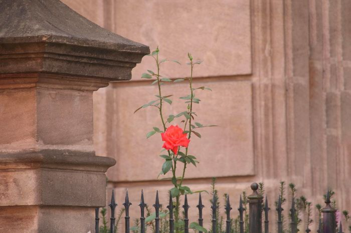 Red Rose Rosé One Rose Sandstone Wall Sandstone Flower Flower Head Architectural Column Red Architecture Close-up Building Exterior Plant Built Structure In Bloom #urbanana: The Urban Playground