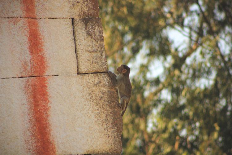 Monkey climbing on wall