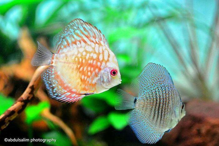 Discus Fish Discusfish Freshwater Fish