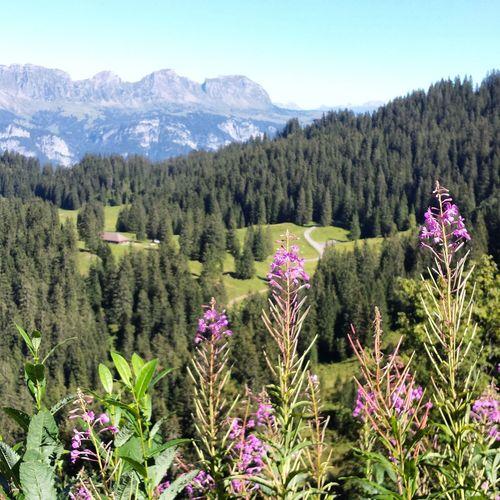 Nature Flumserberg Schwyz Switzerland Mountain Alps Flower Perspectives On Nature