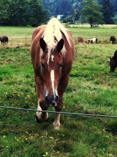 Portrait of cow grazing on field