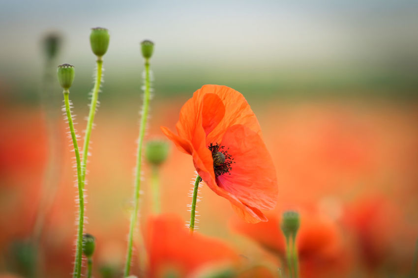 Poppies in a field. Field Field Of Flowers Fields Fieldscape Flower Flower Collection Flowers Nature Poppies  Poppies Field Poppies In Bloom Poppy Poppy Field Poppy Fields Poppy Flower Poppy Flowers Red Red Flower Red Flowers Plant Beauty In Nature No People Blooming Outdoors Poppies