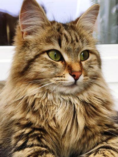 Mybeauty Thinking Of You MyLittleCat 💕 🐱 Domestic Cat Cat Domestic Animal Themes Pets Animal Domestic Animals Looking Away One Animal Animal Eye