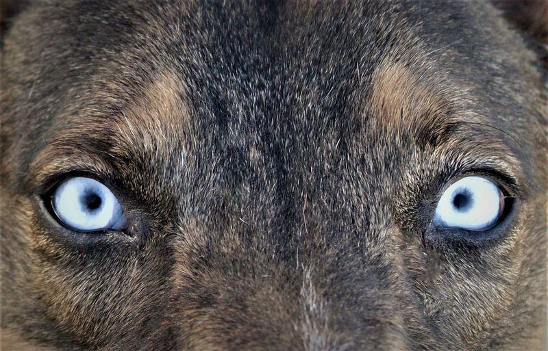 blue eyes Blue Eyes Animal Body Part Animal Eye Body Part Canine Close-up Dog Domestic Domestic Animals Extreme Close-up Eye Iris - Eye Looking At Camera Mammal No People One Animal Pets Portrait Vertebrate Whisker Looking At Camera Animal Hair