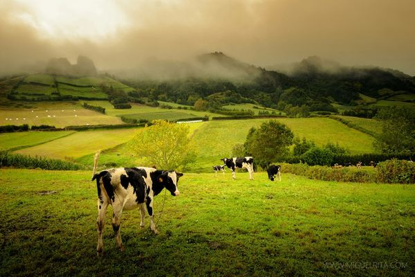 Açores Portugal I See Cows. Green Green Green!  Misty Morning