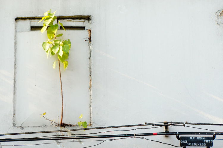 Bangkok Streetphotography Building Exterior Green And White Colour Growing Tree In The Streets Of Bangkok Leafs In The Sunlight Nature Is Strong New And Old No People No Photoshop Outdoors Plant In Front Of House Wall Sony A6000 Street Cable