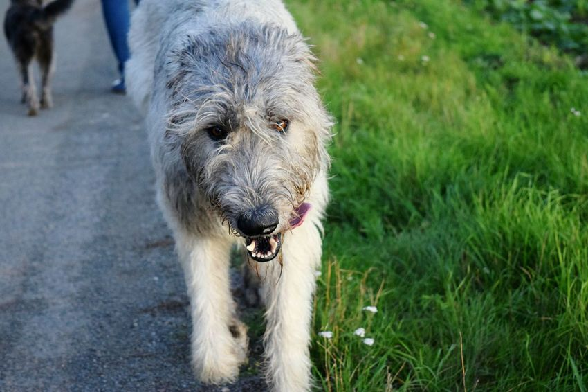 One Animal Looking At Camera Portrait Animal Themes Animal Wildlife Dog Outdoors The Places I've Been Today Eyes Are Soul Reflection How Is The Weather Today? Evening Light And Shadow Autumn 2016 October 2016 Animals In The Wild Get Closer Bokeh Dog Of The Day Dogslife Dogs Of EyeEm Dogs Of Autumn Animal Eye Dogwalk Cearnaigh Irish Wolfhound