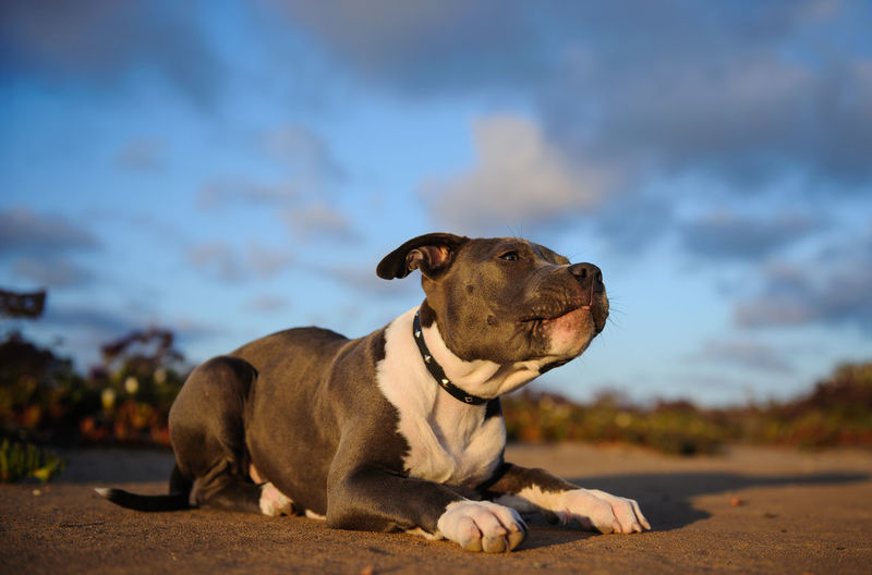 American Pit Bull Terrier puppy lying down with blue sky and clouds Apbt American Pit Bull Terrier Animal Dog Pet Pit Pit Bull Pitbull Puppy Terrier Blue Nose Pittie Pets One Animal Domestic Canine Domestic Animals Looking Away Cloud - Sky Nature No People Sky Relaxation Animal Themes