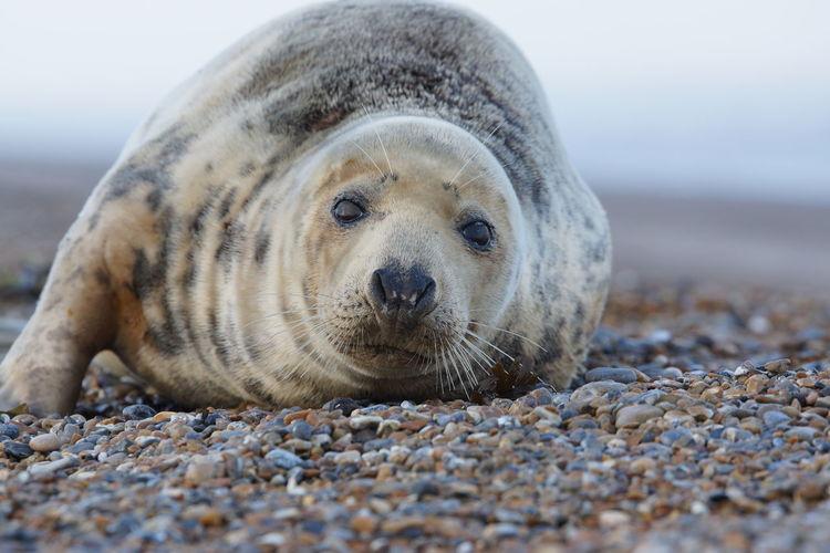 Sea Animal Animal Themes Animal Wildlife One Animal Seal - Animal Land Beach Mammal Water Sand Marine Nature Seal Sealife Wildlife Wildlife & Nature Nature Sashalmi Wild