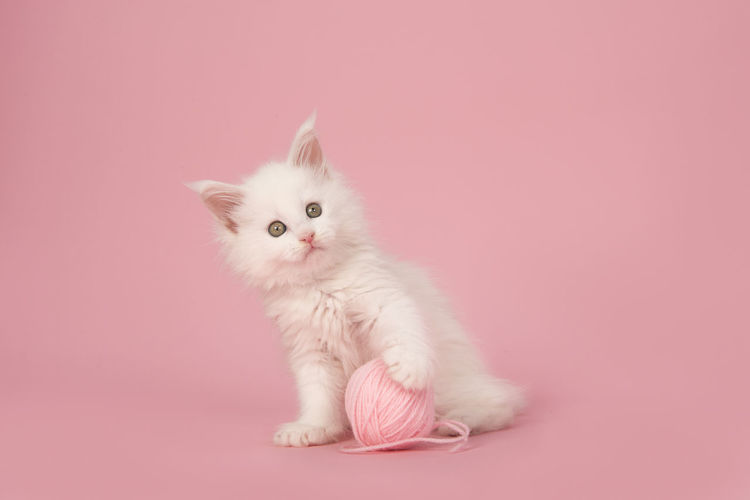 Cute white main coon kitten looking at the camera holding a pink ball of wool on a pink background Main Coon Main Coon Kitten Kitten Cute Cats Cute Kitten White Cat White Kitten Pink Background Pink Color Pets Domestic Animal Domestic Animals Animal Themes One Animal Colored Background Cat Feline Looking At Camera Domestic Cat Studio Shot