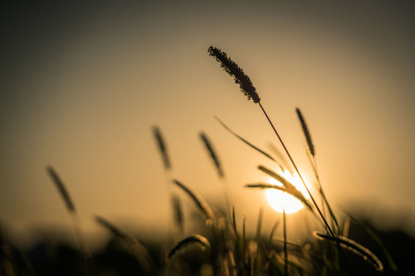 Summer vibes Agriculture Beauty In Nature Close-up Crop  Field Focus On Foreground Growth Nature No People Outdoors Plant Selective Focus Sky Sun Sunlight Sunset Timothy Grass Tranquil Scene Tranquility