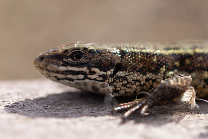 Shedding Lizard Dinosaur Shedding Skin Animal Animal Body Part Animal Eye Animal Head  Animal Mouth Animal Scale Animal Themes Animal Wildlife Animals In The Wild Beauty In Nature Close-up Day Land Lizard Nature No People One Animal Outdoors Portrait Reptile Selective Focus Vertebrate