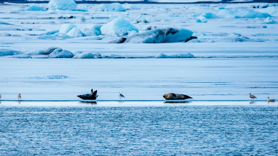 Animal Themes Beauty In Nature Blue Cold Temperature Day Frozen Ice Iceland Idyllic Island Nature Scenics Sea Season  Snow Tranquil Scene Tranquility Water Waterfront White Color Wildlife Winter