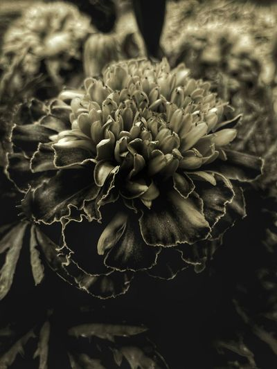 Merigold flower. Check This Out Blooming Blossom Black And White Photography Flower Photography Flowers, Nature And Beauty Hdr Edit Hdrphotography Hdrart Fountain, Colorado Followme Close Up Flower Follow4follow Followplease Monochrome Photography