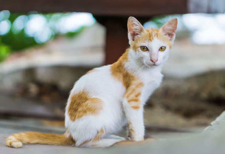 Cat Sitting . Animal Themes Calico Cute Cat Looking At Camera Looking Down Portrait Of A Woman Animal Beauty Cat Cat Thai Close-up Collar Domestic Cat Ginger Cat Kitten Little Looking At Camera No People Outdoors One Animal Pets Portrait Puppy Scratching Sitting Three Colors