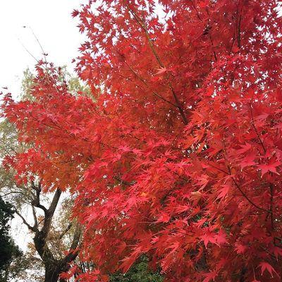 紅葉 もみじ 中野 平和の森公園 哲学堂のもみじも平和の森公園のもみじも真っ赤に染まってる…?