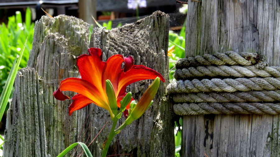 Glorious Red Logs, Rop Beauty In Nature Close-up Day Flower Flower Head Fragility Freshness Growth Lily Flower Nature No People Outdoors Plant Red